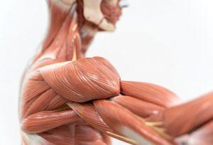 Мышцы плечевого пояса - здесь запасается гликоген, который влияет на скорость входа в кетоз.